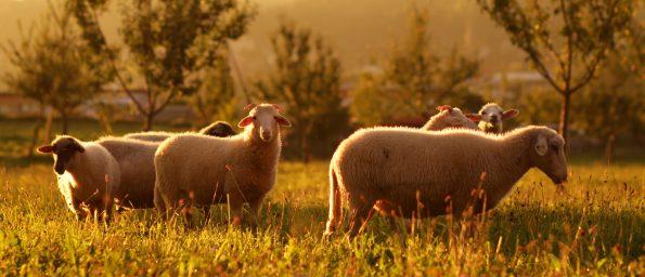 Wolle auf der Weide