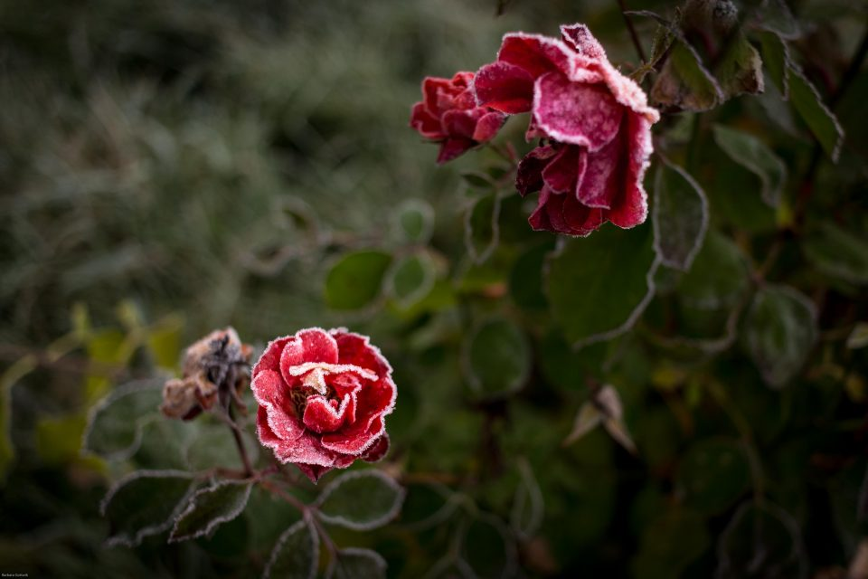 Rose mit erstem Frost