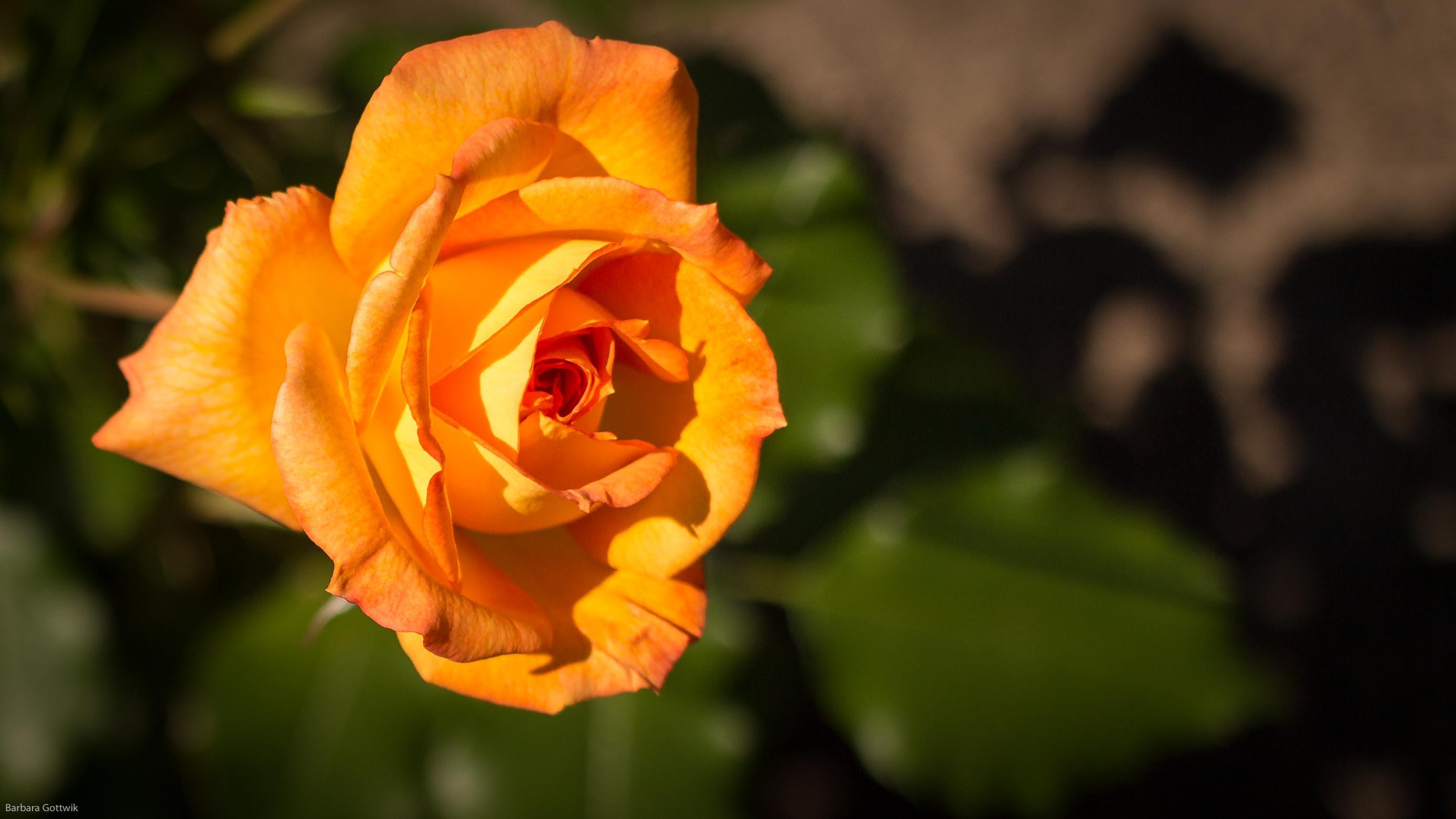 Eine orange Rose aus meinem Garten