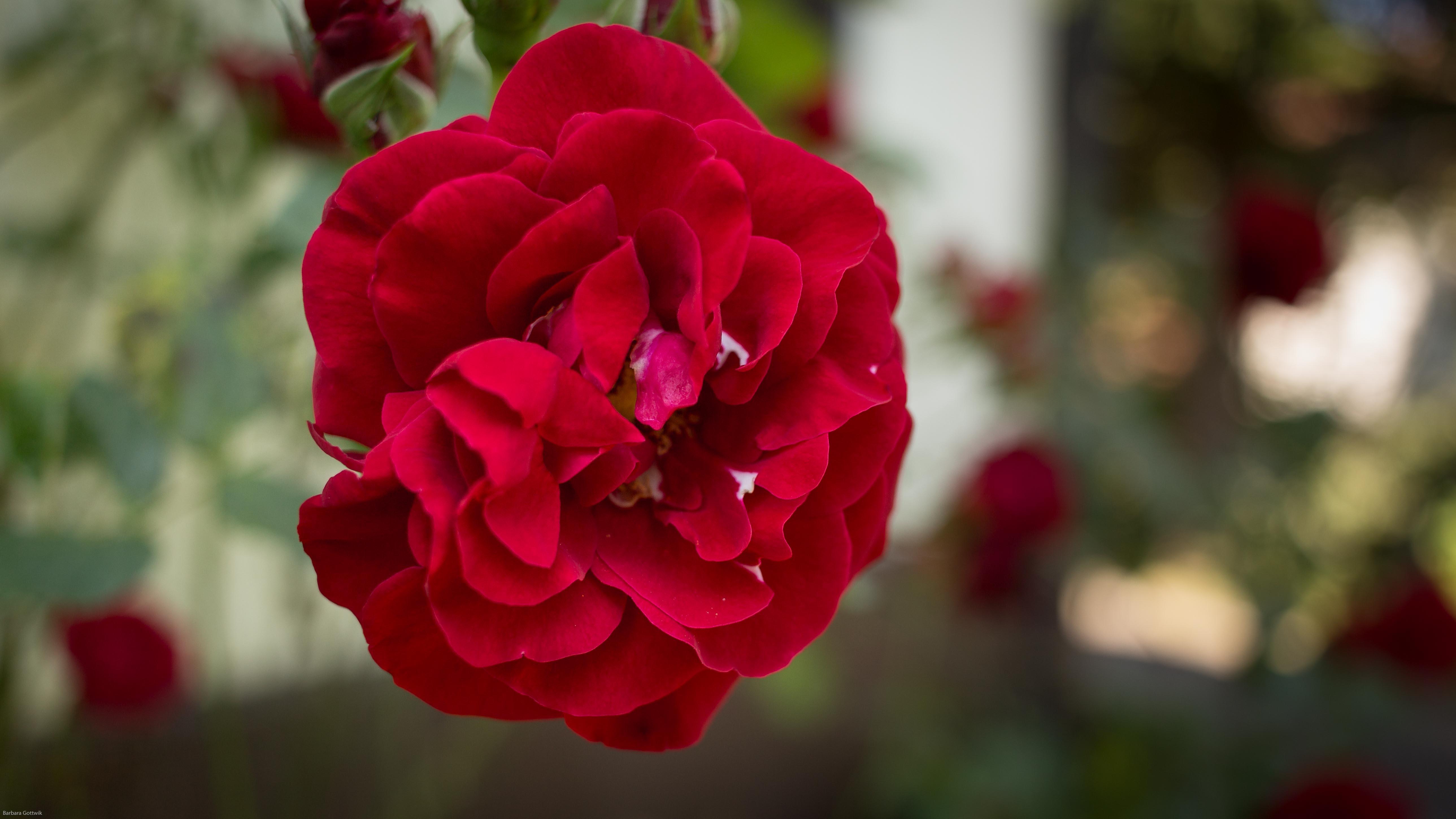 Meine rote Rosen in voller Blühte im Juni